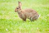 A picture of a rare rabbit taken in Leicestershire.