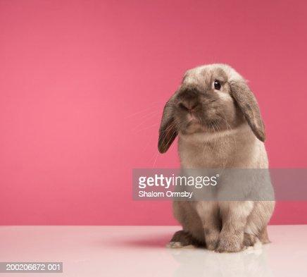 Rabbit sitting, close-up : Stock Photo
