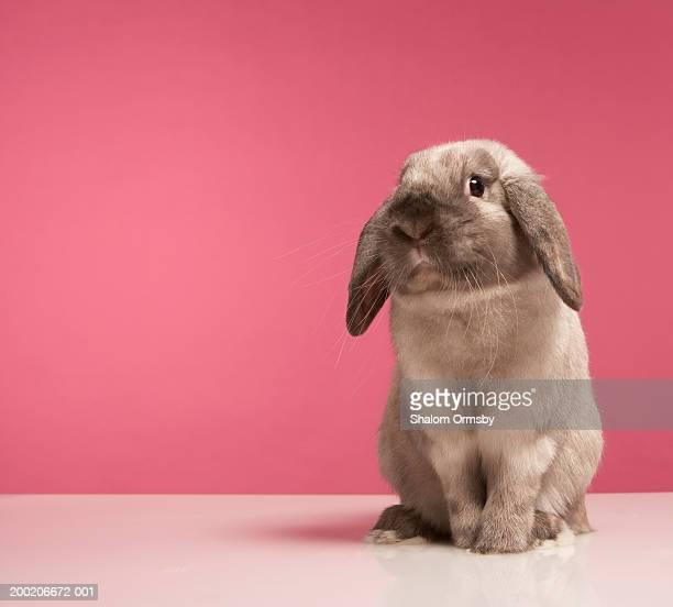 Rabbit sitting, close-up