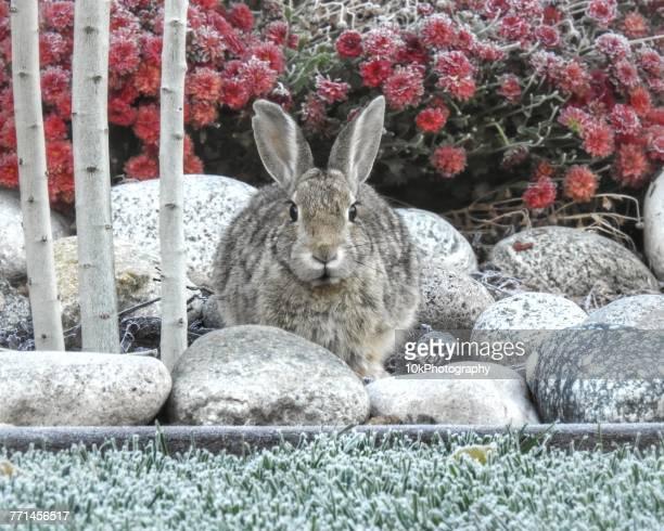 Rabbit sitting in a garden in the winter Colorado, America, USA