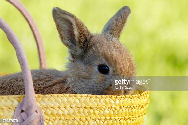 Rabbit sitting in basket, close-up