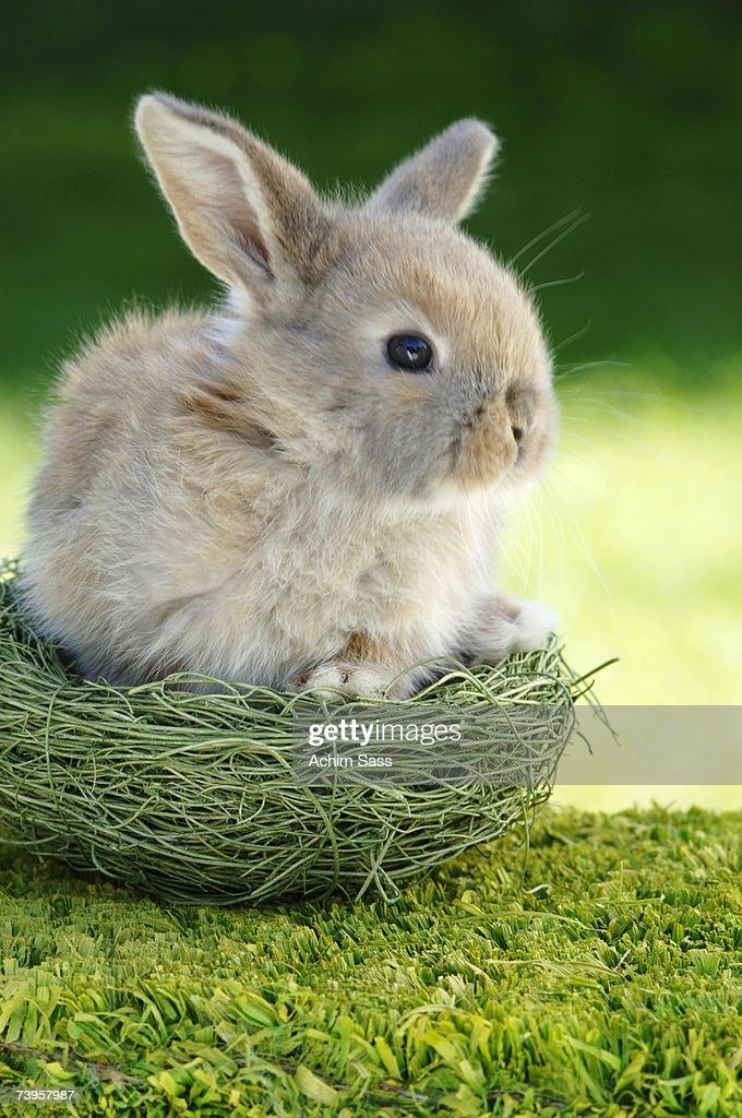 Rabbit sitting in nest, close-up