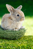 Rabbit sitting in nest, close-up