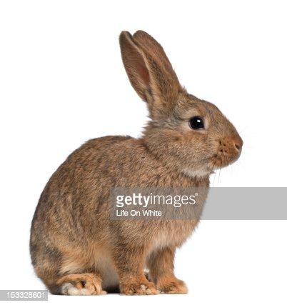 Rabbit sitting : Stock Photo