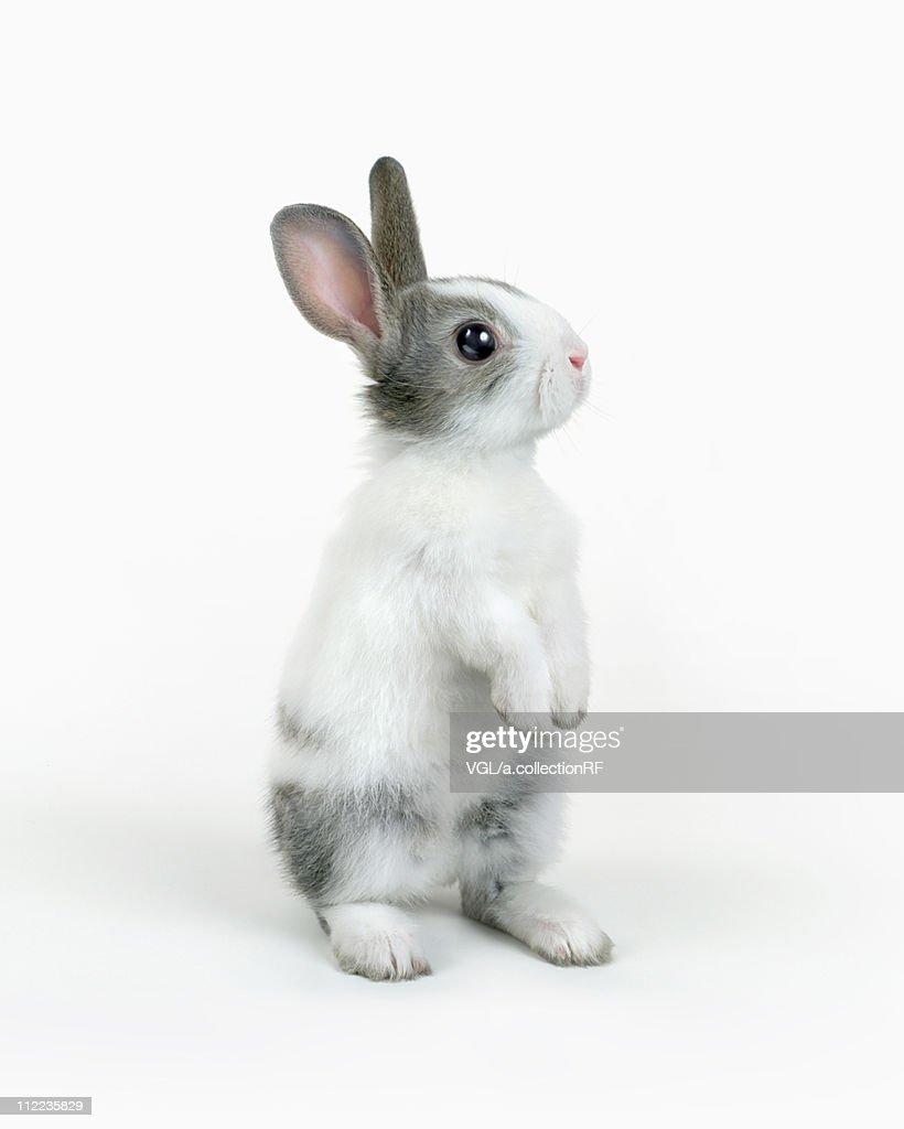 A rabbit standing