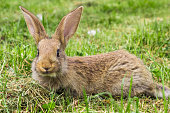 rabbit young with protruding ears
