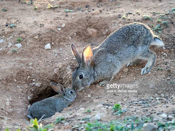Rabbits and adult rabbit small field next to its burrow ( Species Oryctolagus cuniculus.)