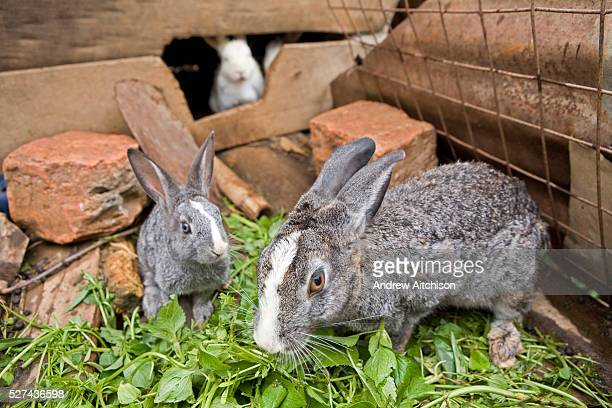 Rabbits at Mable Mutabazi's farm in Uganda Rabbits are bred for meat Mable is a trainee farmer with the Kulika project   Location Muko Kabale Uganda