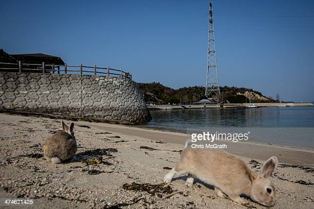 Rabbits forage for food on the beach at Okunoshima Island on February 24 2014 in Takehara Japan Okunoshima is a small island located in the Inland...