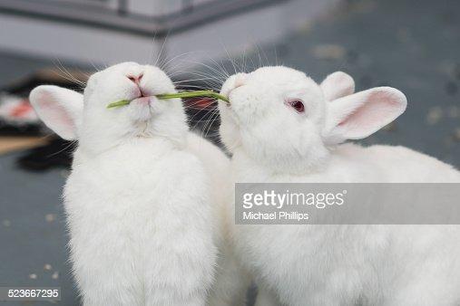 Rabbits sharing a stem