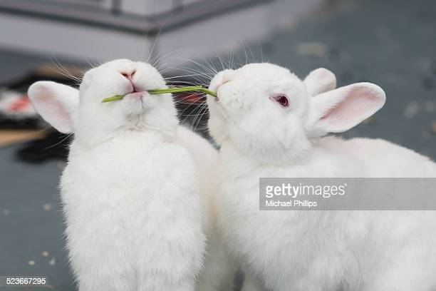 Rabbits sharing a stem