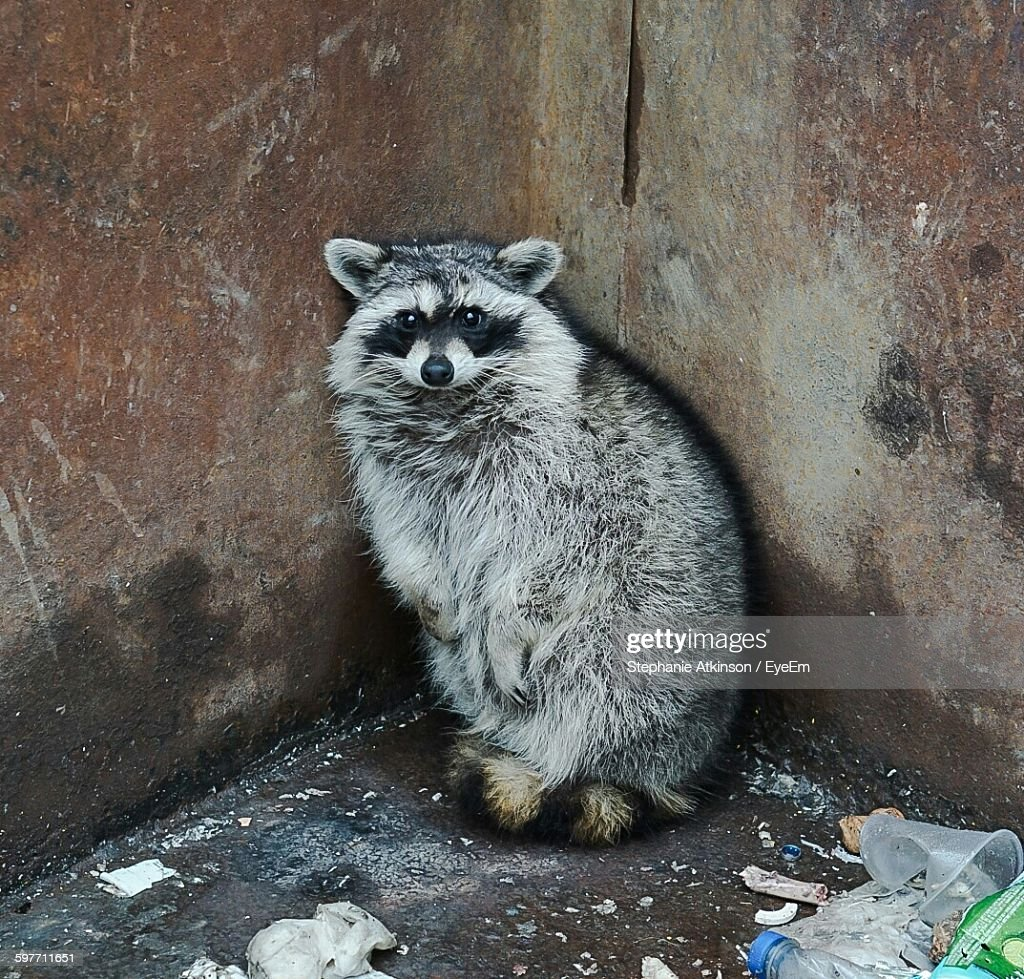 raccoon stock photos and pictures getty images