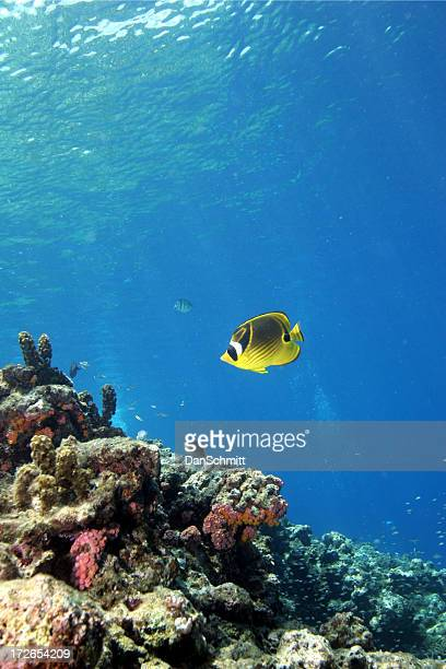 Raccoon Butterfly Fish by the Reef