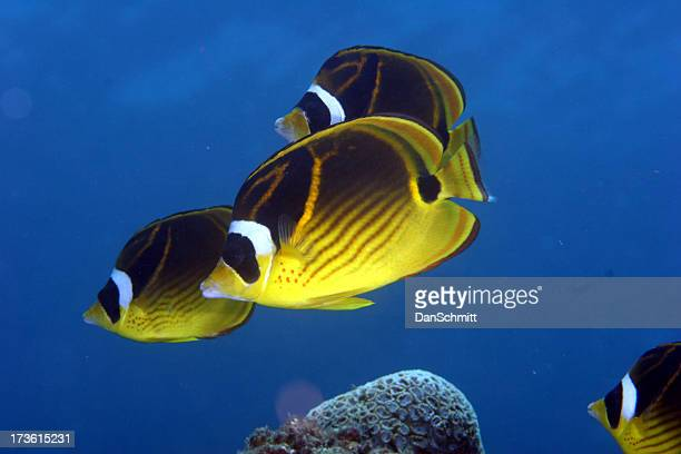 Raccoon Butterfly Fish Squadren