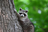 A cute raccoon climbing a tree and posing for the camera. Green bokeh in the background. Toronto wild raccoon