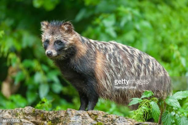 Raccoon dog, Nyctereutes procyonoides, Germany