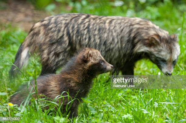 Raccoon dog, Nyctereutes procyonoides, Mother with young, Germany