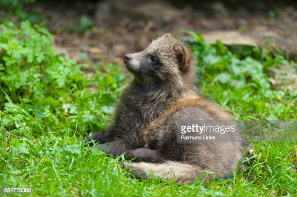 Raccoon dog, Nyctereutes procyonoides, Young, Germany