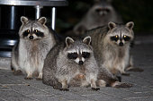 Raccoon family looking for food.