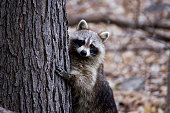 Photograph of a raccoon trying to hide behind a tree.