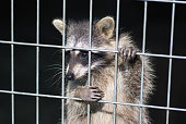 raccoon in a cage. raccoon in the zoo. hard life of animals in captivity