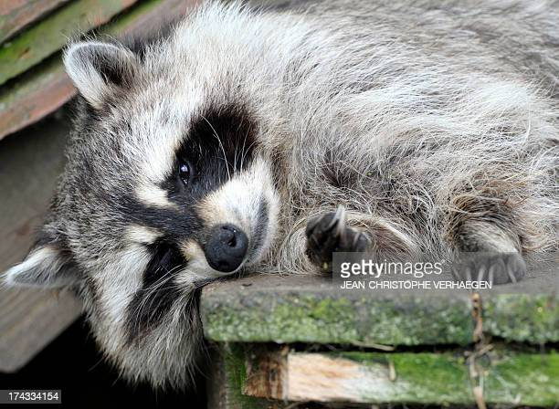 A raccoon is pictured at the SainteCroix zoologic park in the French eastern city of Rhodes on July 24 2013 AFP PHOTO / JEANCHRISTOPHE VERHAEGEN