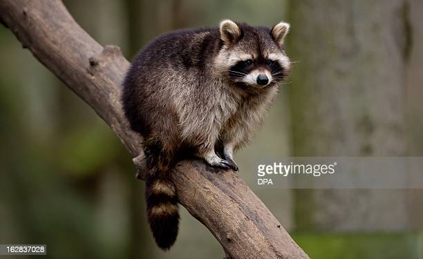 A raccoon is seen in its enclosure at the Schwarze Berge wildlife park in Hamburg northern Germany on February 28 2013 All animals of the park were...