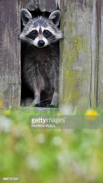 A raccoon looks out of a hole in a barn door in Sieversdorf eastern Germany on May 11 2014 AFP PHOTO / DPA / PATRICK PLEUL / GERMANY OUT