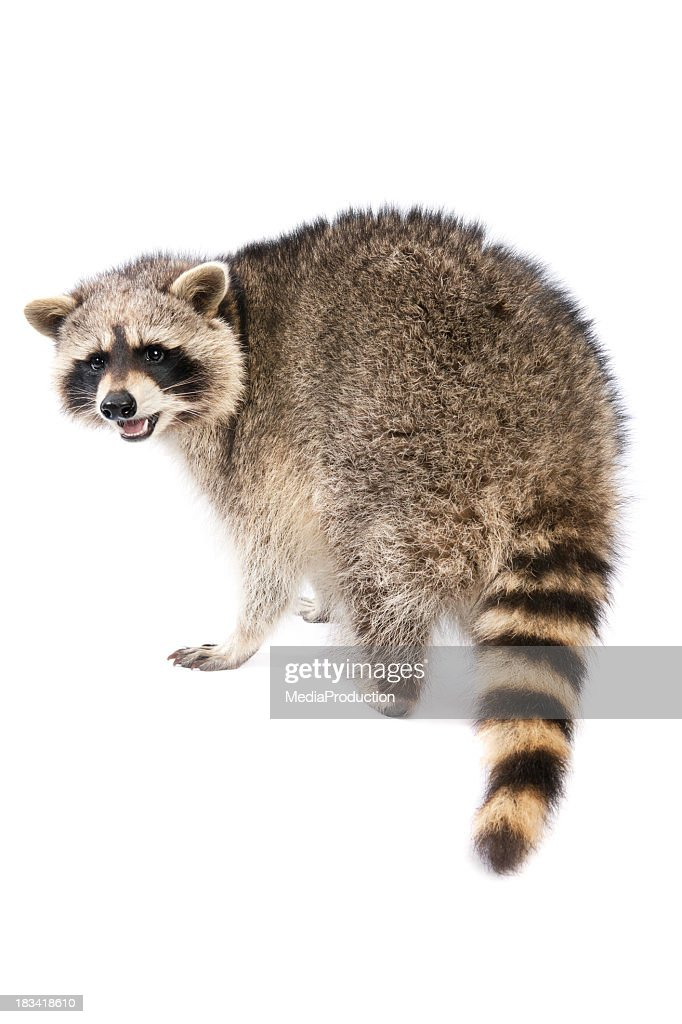 Raccoon Stock Photo | Getty Images Raccoon With No Hair