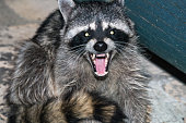 raccoon in woods growling at night