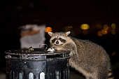Raccoon looking for food in garbage