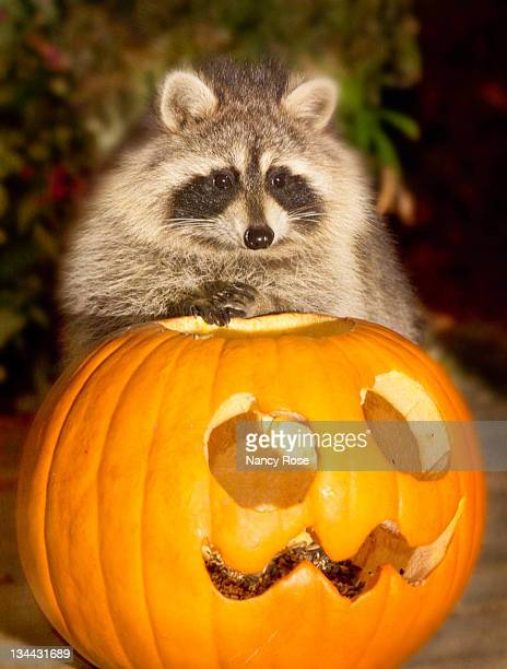 Raccoon posing for pumpkin portrait