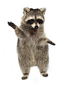 Raccoon in front of a white background.