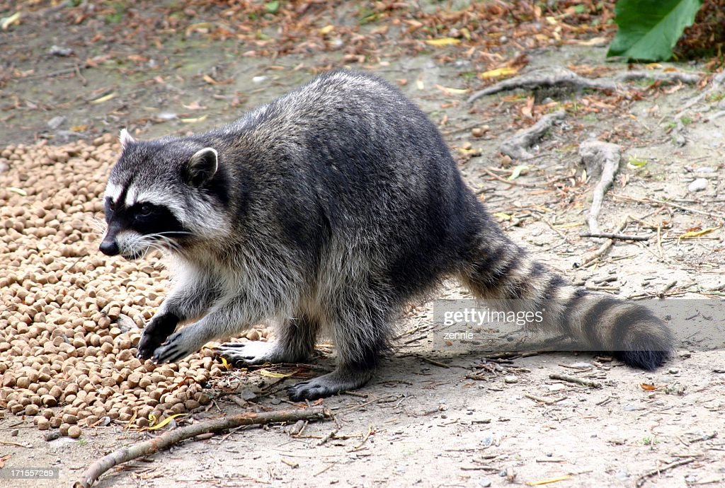 A raccoon scavenging for food in a wooded location : Stock Photo