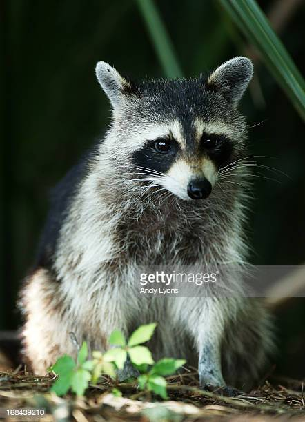 A raccoon sits in the bushes during round one of THE PLAYERS Championship at THE PLAYERS Stadium course at TPC Sawgrass on May 9 2013 in Ponte Vedra...