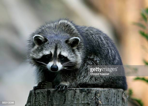 A raccoon sits on a log in the zoo on September 06 2005 in Gelsenkirchen Gelsenkirchen is one of the host cities that will be used to stage the FIFA...