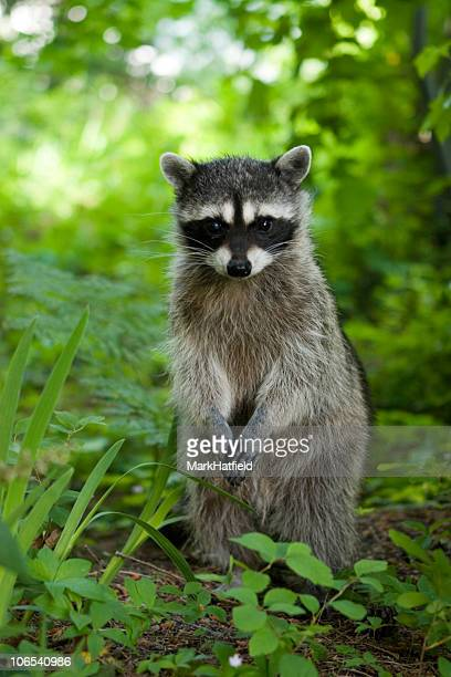 A raccoon sitting up in the grasslands at daytime