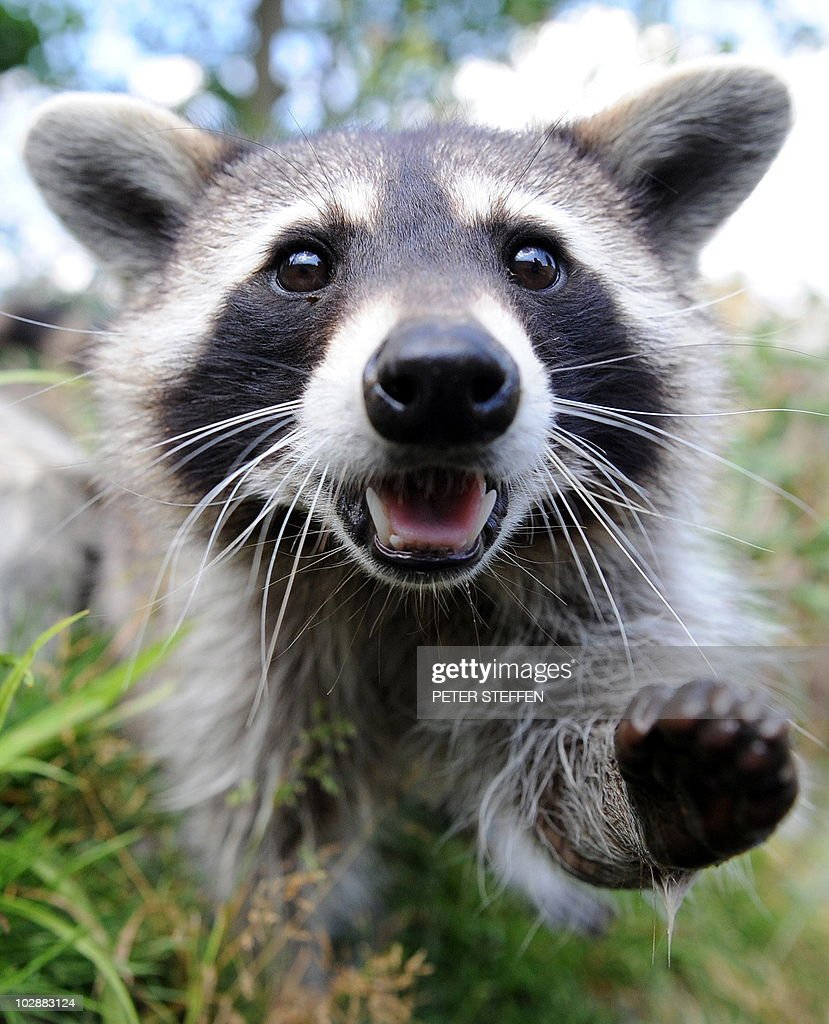 in focus cute raccoons photos and images getty images
