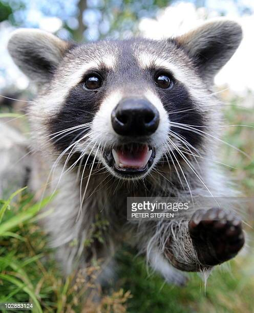 A raccoon walks through his enclosure at the 'Wisentgehege' animal park in Springe near Hanover western Germany on July 13 2010 In the wild raccoons...