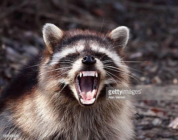 Raccoon with attitude