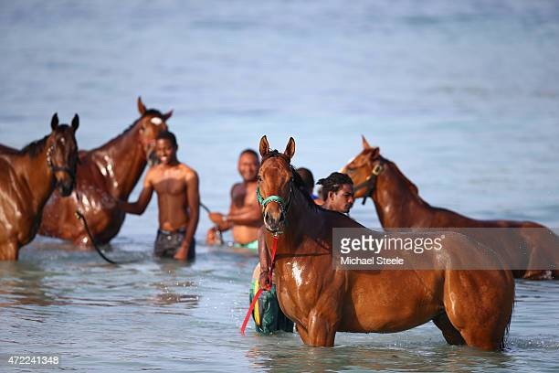 Race horses stabled at the nearby Garrison course are taken by grooms to the sea for aerobic exercise and recovery for foot weary and sore...