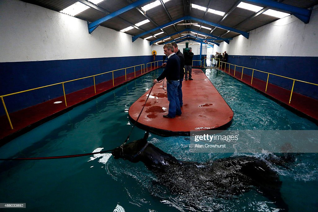 A racehorse exercises in the pool at the Irish Equine Aqua Centre on the Curragh on September 13 2015 in Kildare Ireland
