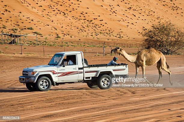 A racing camel runs behind a 4WD during training between sand dunes in the desert Wahiba Sands Ramlat alWahiba Sharqiya Sands Sultanate of Oman