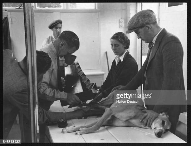 A racing greyhound being undergoing an Xray examination in Britain in the 1930s