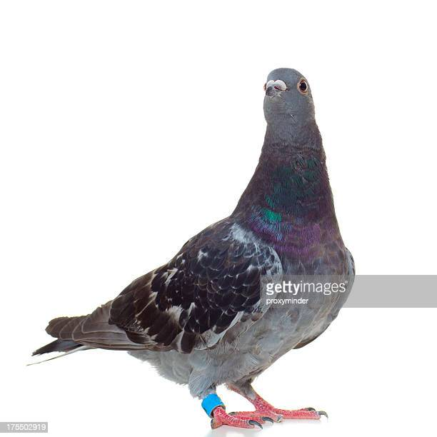 White Homing Pigeon Care