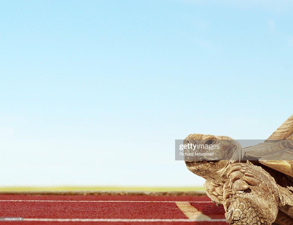 Racing Tortoise : Stock Photo