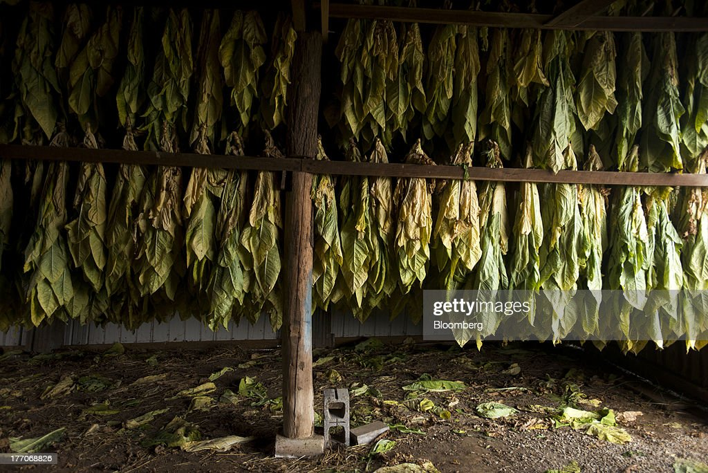 Racks of Burley Tobacco plants hang for drying in a barn at the Baldwin Farm in Manchester, Ohio, U.S., on Monday, Aug. 19, 2013. Ohio's debt is headed for its worst annual return since 2008 because of a slump in the value of the state's tobacco bonds. Photographer: Ty Wright/Bloomberg via Getty Images