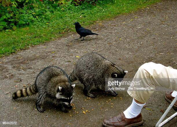 Racoons begging from picknicking man