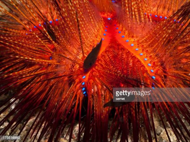 Radiant sea urchin - Astropyga radiata