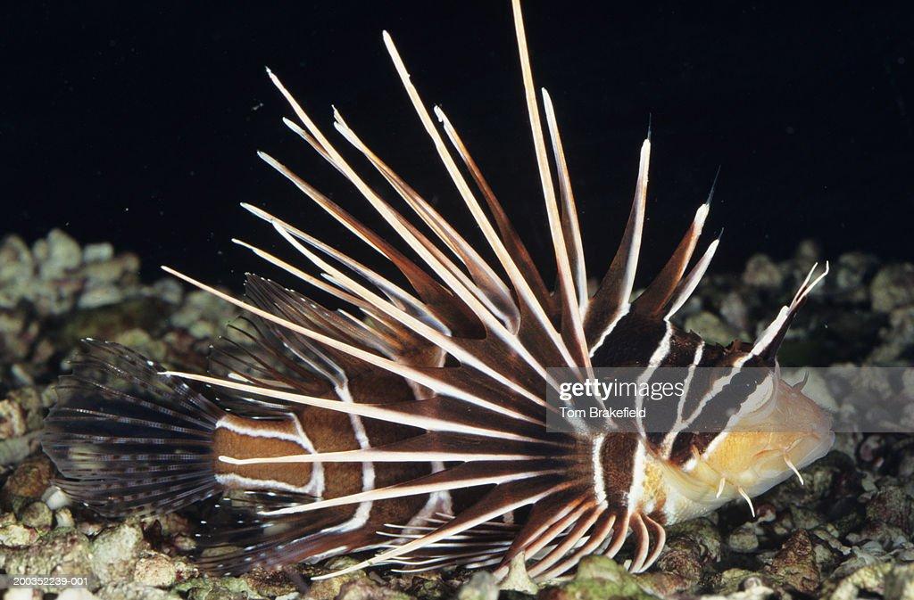 Radiata lionfish (Pterois radiata), tropical reef fish, Indo-Pacific, Red Sea : Stock Photo
